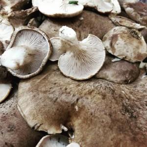 funghi antunna